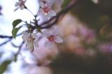 冬に咲くヒマラヤ桜の画像(1枚目)