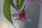 冬に咲くヒマラヤ桜の画像(4枚目)