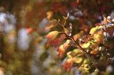 冬に咲くヒマラヤ桜の画像(6枚目)