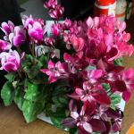 #花のある暮らし ❁❀✿✾素敵な#シクラメン のお花を頂きました♡4種どれも可愛くて部屋が華やかになってます!!・シクラメンって、様々な種類が揃うとかわいい!・4種あるので寄せ…のInstagram画像