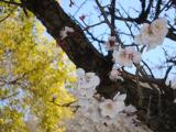 今日は十六団子の日 ~ お花見がしたいの画像(1枚目)