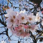 だいぶ咲いてきた🌸癒しのカラー💕まだまだ蕾がほとんどですが、一気に咲きそうな予感😊今日の強風にも頑張って咲いてましたペルちゃまは相変わらず、滑りにくくなったフローリングなのに恐る恐る歩…のInstagram画像