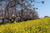 【熊谷桜堤の桜  お花見2021 】の画像(3枚目)