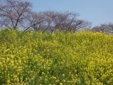 【熊谷桜堤の桜  お花見2021 】の画像(6枚目)