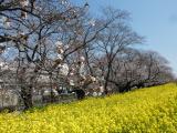 【熊谷桜堤の桜  お花見2021 】の画像(1枚目)