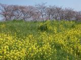 【熊谷桜堤の桜  お花見2021 】の画像(2枚目)