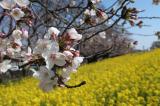 【熊谷桜堤の桜  お花見2021 】の画像(4枚目)