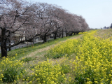 【熊谷桜堤の桜  お花見2021 】の画像(5枚目)