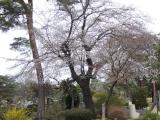 【お墓参りと桜 小平霊園  お花見2021 】の画像(1枚目)