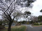 【お墓参りと桜 小平霊園  お花見2021 】の画像(2枚目)