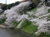 【先週の千鳥ヶ淵の桜  お花見2021 】の画像(5枚目)