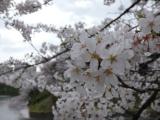 【先週の千鳥ヶ淵の桜  お花見2021 】の画像(4枚目)