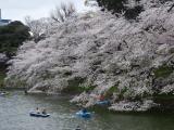 【先週の千鳥ヶ淵の桜  お花見2021 】の画像(1枚目)