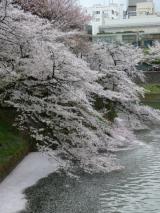 【先週の千鳥ヶ淵の桜  お花見2021 】の画像(2枚目)