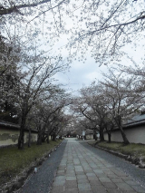「お花見2021@京都」の画像(4枚目)