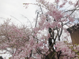 「お花見2021@京都」の画像(1枚目)