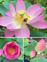 法金剛院の蓮の花(^_-)-☆の画像(10枚目)
