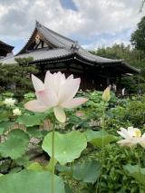 法金剛院の蓮の花(^_-)-☆の画像(5枚目)