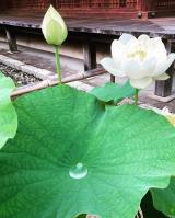 法金剛院の蓮の花(^_-)-☆の画像(6枚目)