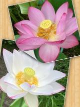 法金剛院の蓮の花(^_-)-☆の画像(7枚目)