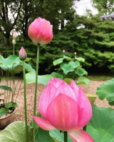法金剛院の蓮の花(^_-)-☆の画像(4枚目)