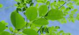 「これが進化した乳酸菌発酵モリンガパワー!「オーガニック発酵スーパーモリンガ   よりまるの日記 - 楽天ブログ」の画像(2枚目)
