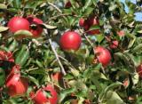 「34、完熟りんご3キロが3名に!」の画像(2枚目)
