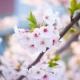 イベント「【桜の写真投稿】サクラサク♪桜といえば桜花媛!桜の写真を投稿してください」の画像