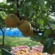 イベント「かんなの湯人気イベント「相川梨園の梨『あきづき』プレゼント」」の画像