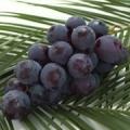 \アンケート回答/小林農園の大粒種無しピオーネプレゼント1名◆BrushUP学び/モニター・サンプル企画