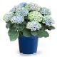 イベント「【アジサイ マジカルレボリューション ブルー】saxia植物長持ち体験モニター!」の画像