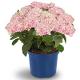 イベント「【アジサイ マジカルレボリューション ピンク】saxia植物長持ち体験モニター!」の画像