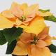 イベント「【ポインセチア ゴールド】+ saxia「サクシア」植物長持ち体験モニター!」の画像