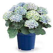 「【アジサイ マジカルレボリューション ブルー】saxia植物長持ち体験モニター!」の画像、株式会社ハクサンのモニター・サンプル企画