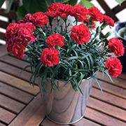 「【カーネーションを30名様に】saxia(サクシア)植物長持ち体験モニター!」の画像、株式会社ハクサンのモニター・サンプル企画