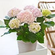 「【アジサイ コットンキャンディー】saxia(サクシア)植物長持ち体験モニター!」の画像、株式会社ハクサンのモニター・サンプル企画