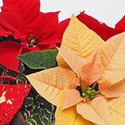 「【ポインセチア3ポットセット】+ saxia「サクシア」植物長持ち体験モニター!」の画像、株式会社ハクサンのモニター・サンプル企画