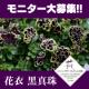 イベント「日本人の琴線に触れるペチュニア「花衣(はなごろも) 黒真珠」ブログモニター大募集」の画像