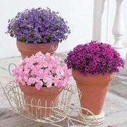 「【3種類から選べる!サフィニアセット】お庭やベランダを華やかにしてみませんか?」の画像、GreenSnapのモニター・サンプル企画