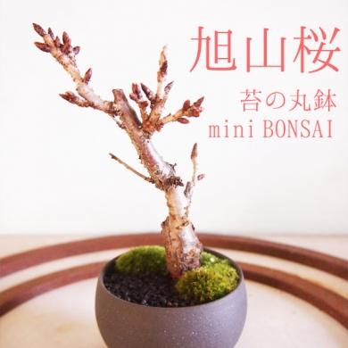 ご購入はこちらから「モダン盆栽 旭山桜・小(1本)  苔の丸鉢」