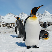 ナイジェル・マーヴェン ペンギン・サファリ