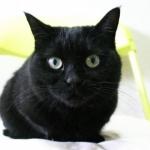黒猫マフィン